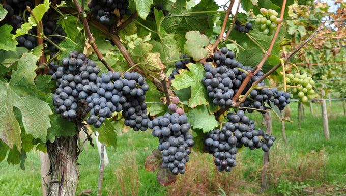 Uvas de variedad pinotage