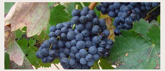 Vinos tintos Protos